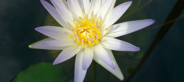 Fleur Lys d'Eau